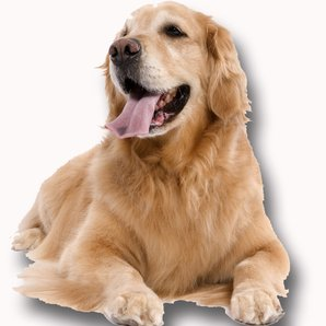 Cut Out Golden Retriever